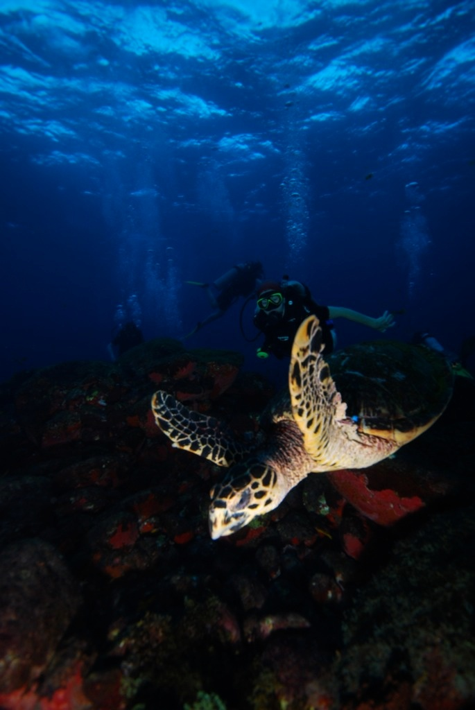 Diving with sea turtles in Fernando de Noronha, Brazil