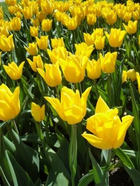 Tulip Festival in Morges