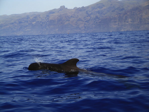 Whale Watching in Los Gigantes, Tenerife (Spain)