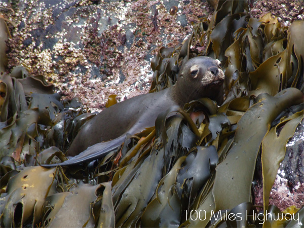Sea Lions in Cape Horn, Chile