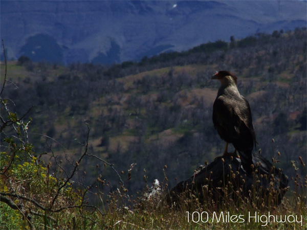 Eagle in Torres del Paine, Chile