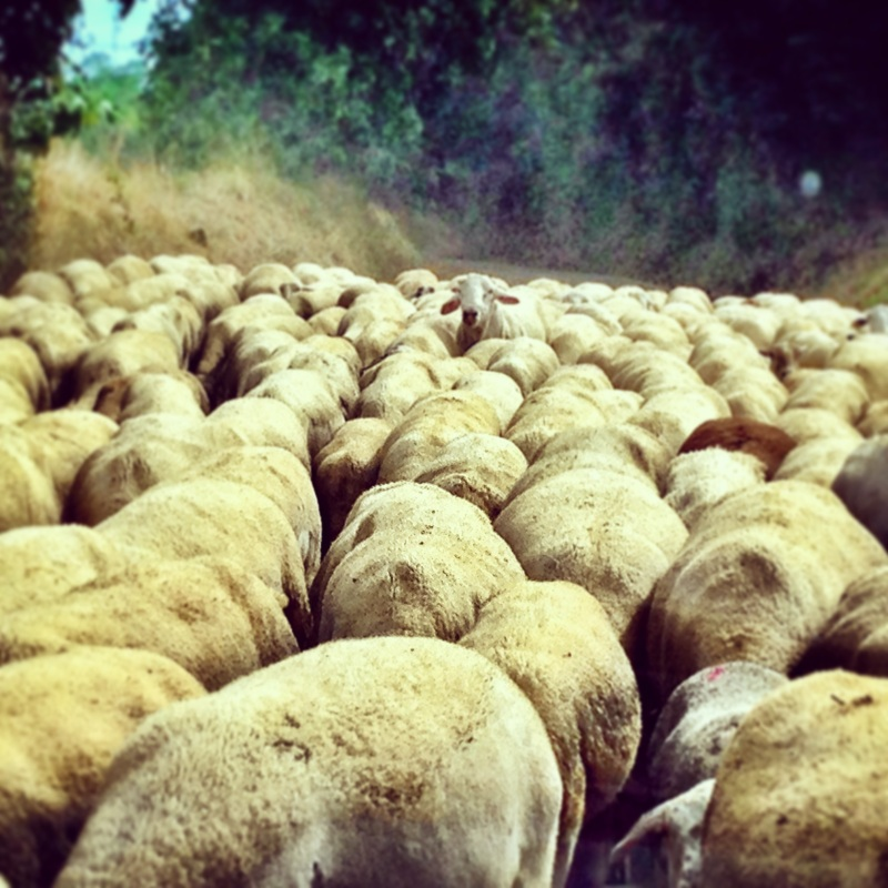 Sheep Avalanche, Girona (Spain)