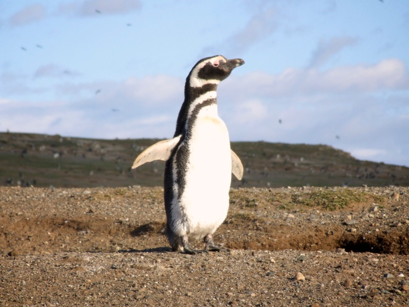 Penguin in Isla Magdalena, Chile