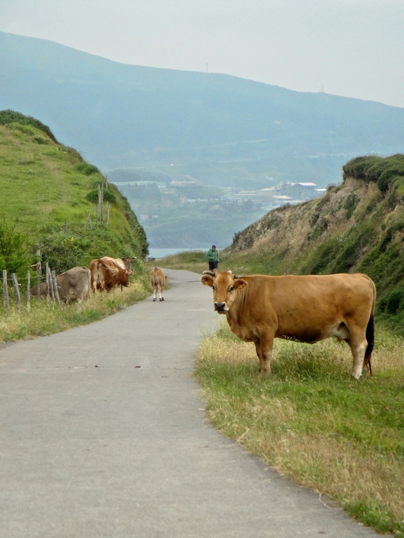 Cows on the Camino del Norte (Spain)